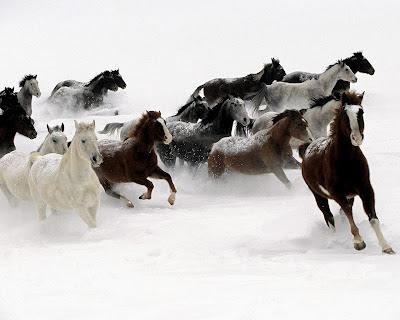 Imagen manada de caballos al galope en la nieve
