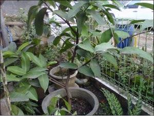 Pohon Jambu dalam Pot