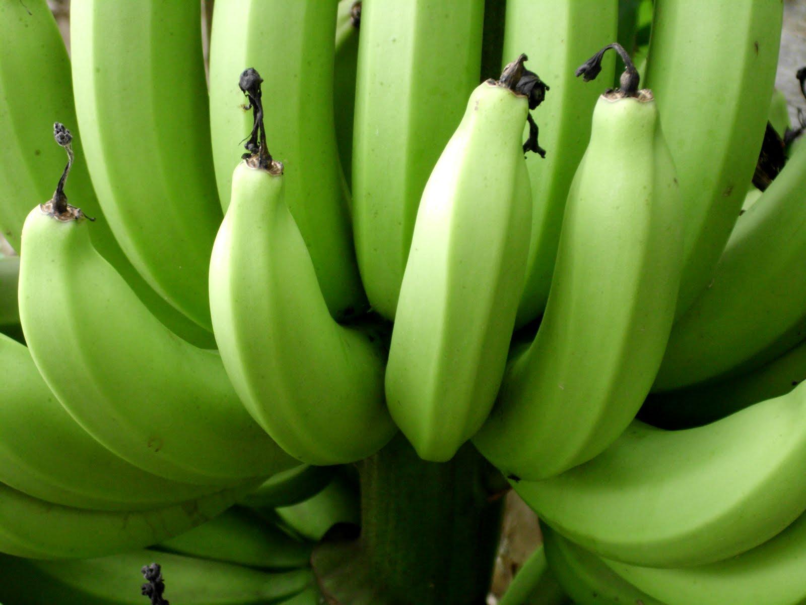 Banana (Musa spp.)