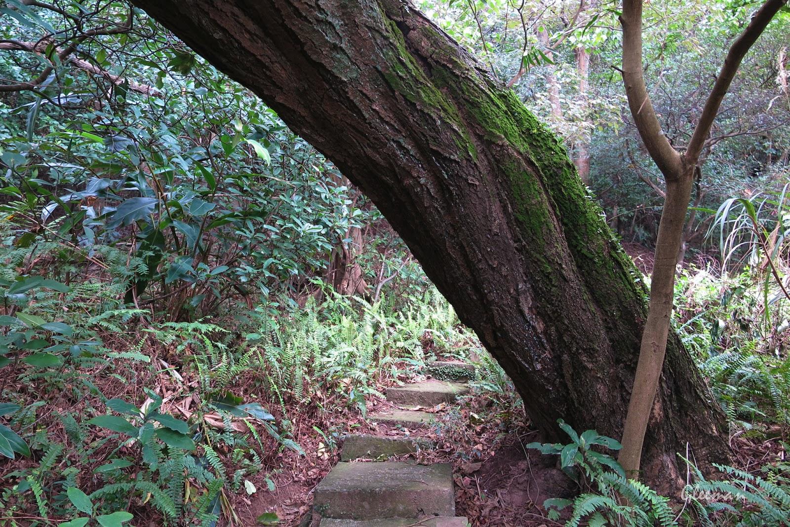 過了這棵巨木後馬上就會接上環山步道