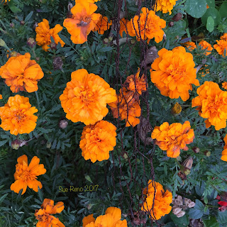 Orange marigolds_Sue Reno
