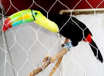 Foto de un tucán en una dentro de una jaula
