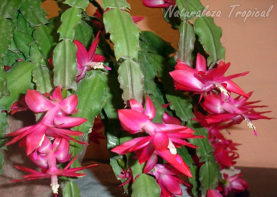 Flores púrpuras del popular Cactus de Navidad donde se observan la forma de sus tallos y flores, género Schlumbergera