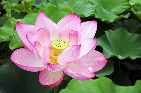 merupakan salah satu tanaman yang sering dijadikan tanamn hias alasannya ialah bunganya yang indah Manfaat Bunga Teratai Sebagai Obat Tradisional