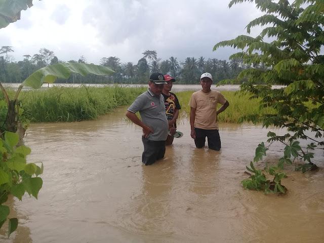 Wayharu Meluap Lagi, Ratusan Hektar Sawah Terendam