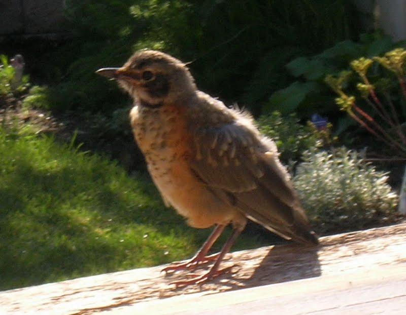 My Mountain Garden Gleanings: Baby Bird Visitors
