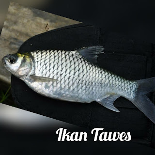 Morfologi dan Klasifikasi Ikan Tawes (Barbonymus gonionotus)