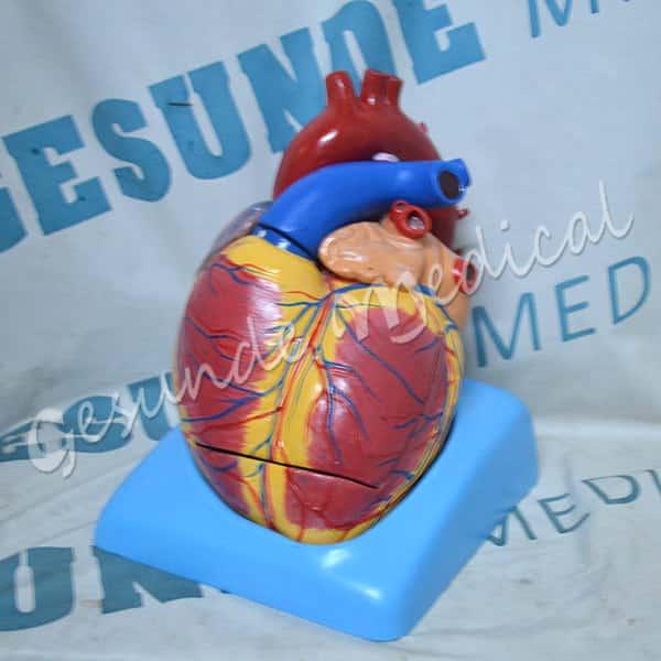 toko torso organ jantung