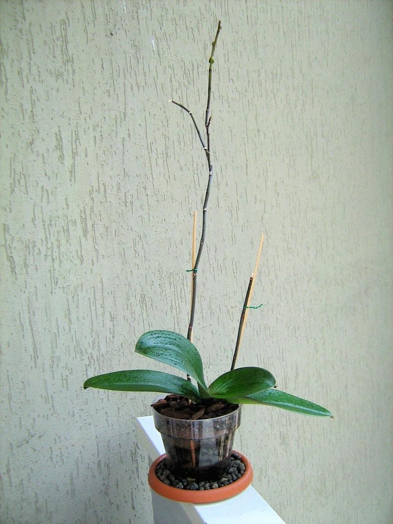 Chamerion blog di giardinaggio viaggi natura for Orchidea fioritura