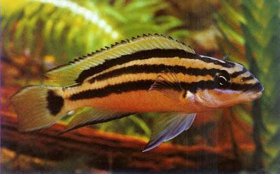Ciclido Julidochromis Ornatus