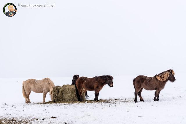 cavalli-islandesi
