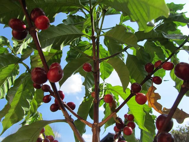 Frutti Maturi Coffea arabica