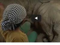 Hebat, Nyanyian Wanita Ini mampu menghipnotis seekor gajah hingga Terlelap dan Mendengkur dalam sekejap