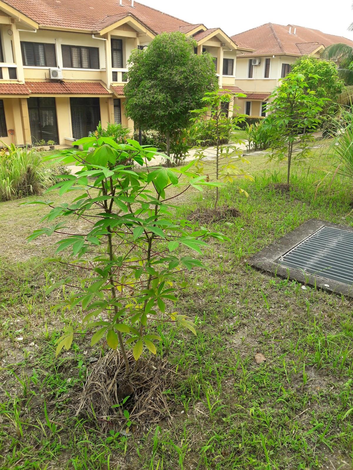 kebun sejemput...: Menuai Ubi Kayu dan Pucuknya