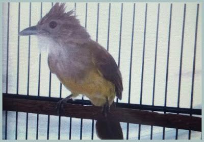 Kali ini kami akan membahas salah satu burung jenis Cucak Cara Mengatasi Cucak Jenggot Over Birahi
