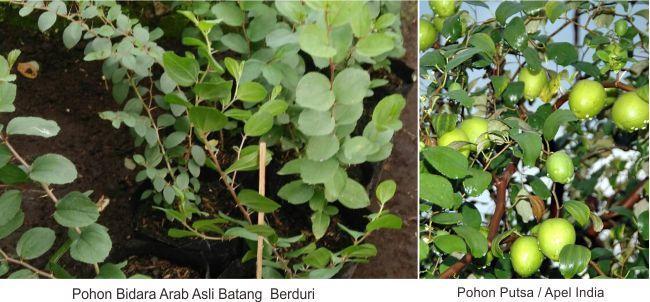 Perbedaan Pohon bidara arab asli dan pohon putsa apel india