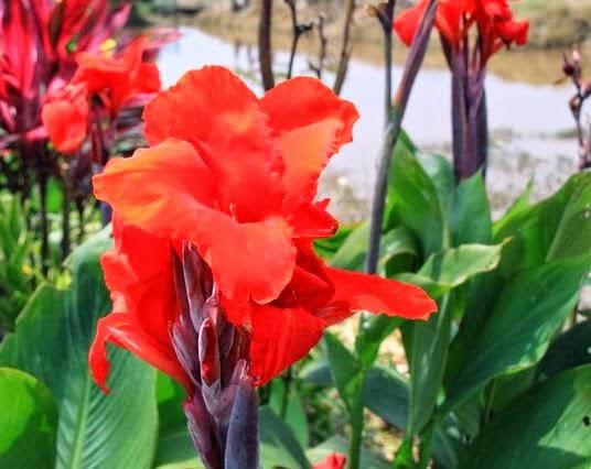 Manfaat tumbuhan Bunga Tasbih