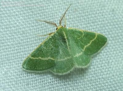http://www.biodiversidadvirtual.org/insectarium/Microloxia-herbaria-%28Hubner-1813%29-img835712.html