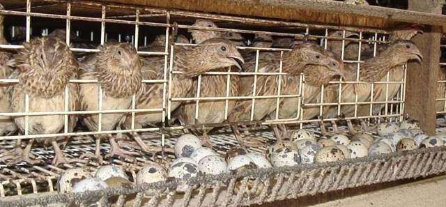 Peluang Usaha Budidaya Burung Puyuh, Usaha Santai Untung Melimpah