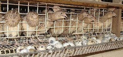 Peluang Usaha Budidaya Burung Puyuh Usaha Santai Untung Melimpah