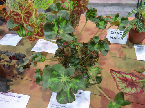 Philadelphia Flower Show 2020 - Begonia Cathedral