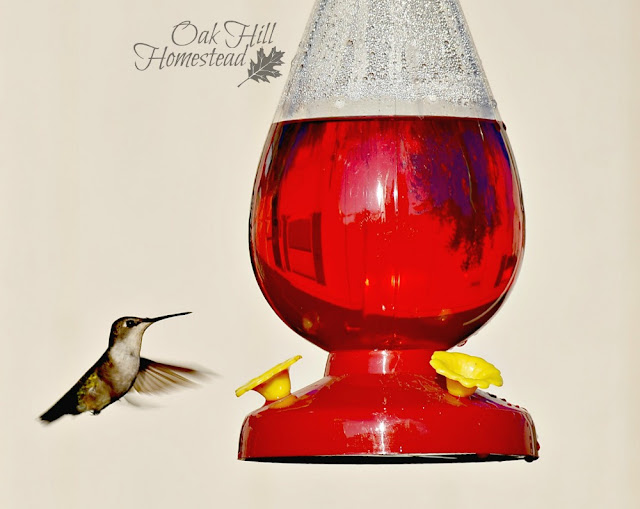 A female or juvenile ruby-throated hummingbird