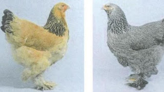 Ayam Kelas Asia (Brahma)