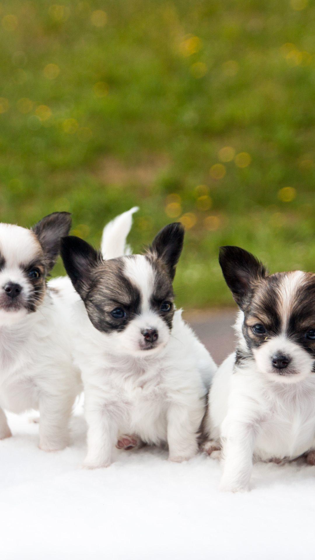 R Chihuahuas Smart Pin Animals-cute-chihu...