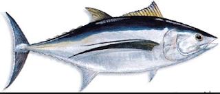 ikan tuna albakora