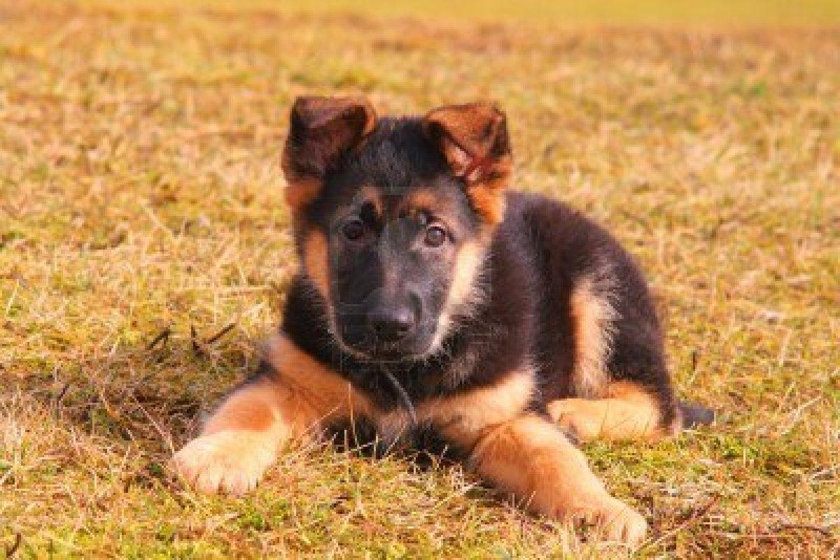 Cute Puppy Dogs: german shepherd puppies