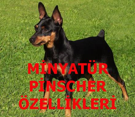 MİNYATÜR PİNSCHER