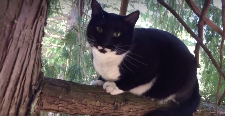 Ronnie spent 11 hours in a tree in Lake Forest Park Photo by Canopy Cat Rescue & Shoreline Area News: Ronnieu0027s story: When your cat is stuck in a ...