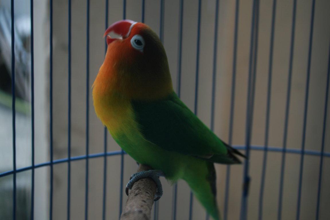Gambar Kartun Burung Lovebird Ngekek