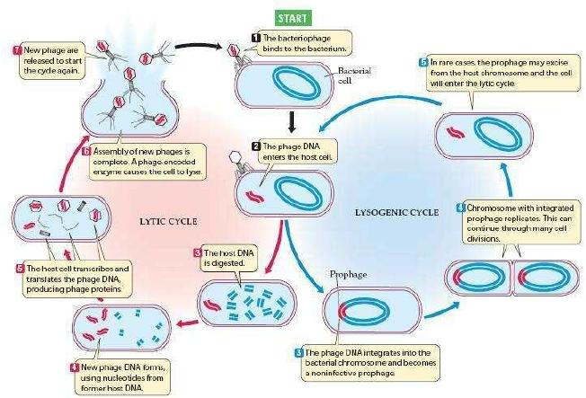 daur reproduksi virus
