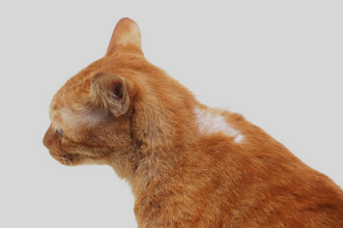 6 Easy Ways to Deal with Hair Loss in Cats