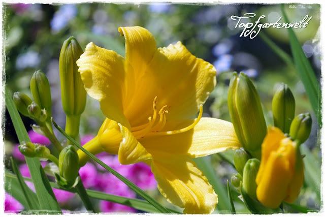 Zwerg-Taglilie gelb