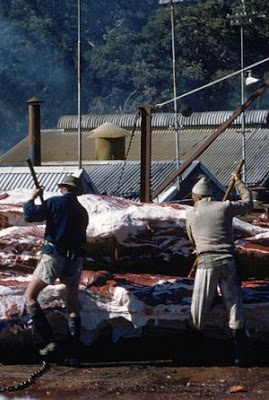 When the Queensland whaling industry killed thousands of whales off Moreton Island.