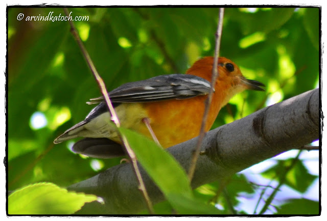 Orange-headed Thrush Back