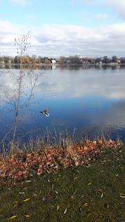 Canards, bord de l'eau, rivière des Prairies, parc de la Merci, automne