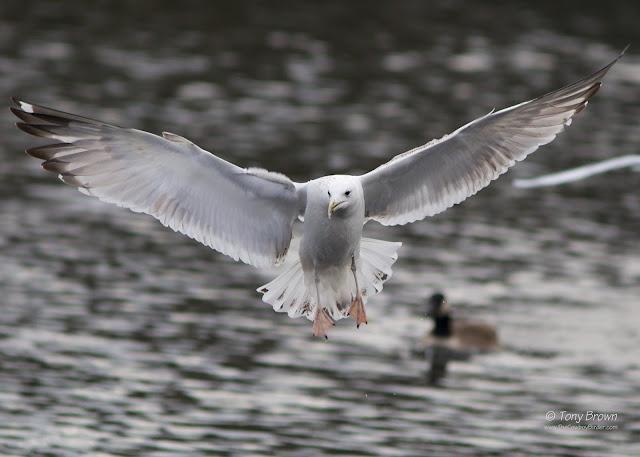 Gulls, London