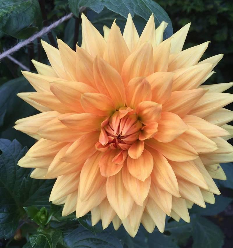 Flor de dalia color melocotón