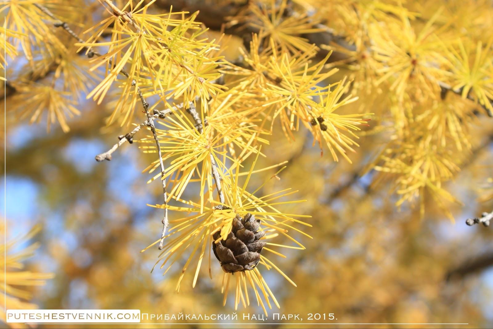 Осенняя лиственница и шишка