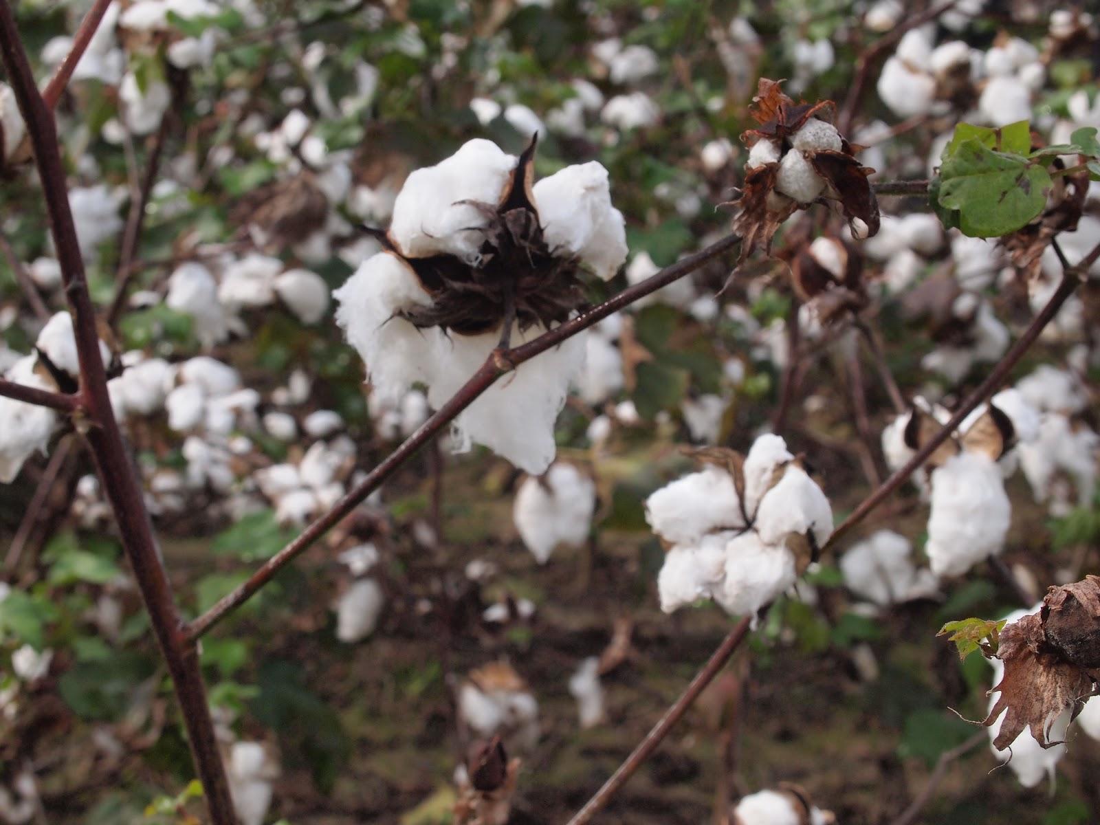 Vijaya Bodach Cotton Picking