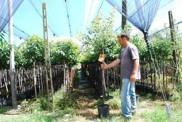 Vendita piante vivai spallacci frutti antichi for Piante vendita