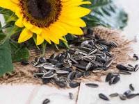 10 Manfaat Biji Bunga Matahari Untuk Kesehatan yang Jarang Diketahui
