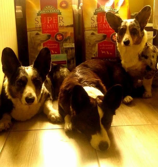 karma dla psów, jedzenie dla psów, karma odchudzająca dla psów, karma light, jak odchudzić psa, nadwaga u psów