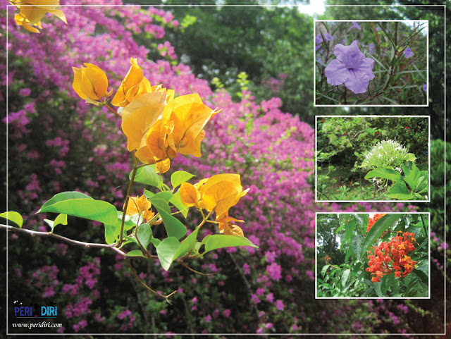 Bunga di bougenville kebun raya purwodadi