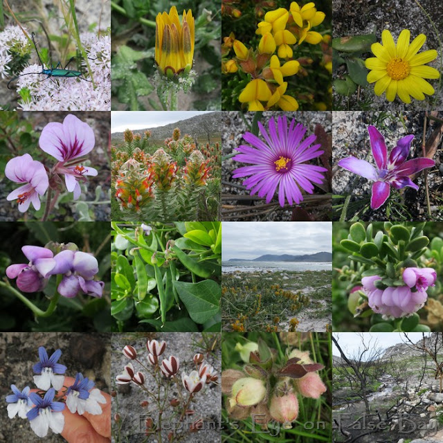 Olifantsbos to Menskop in Cape Point August flowers