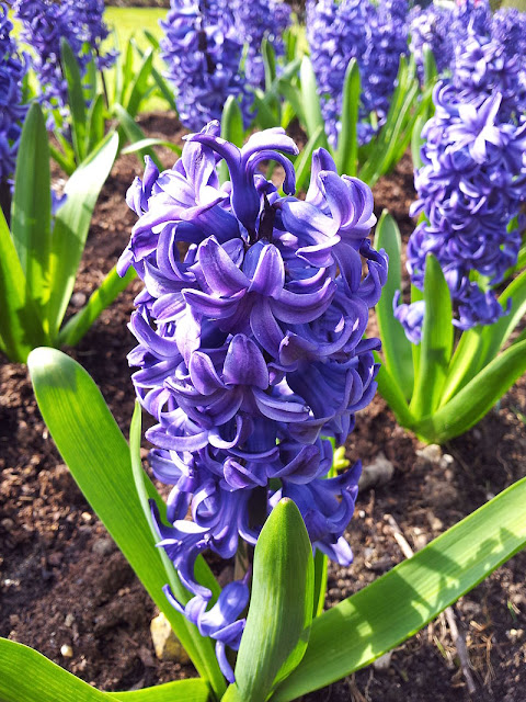 blue flowering hyacinths growing in the ground