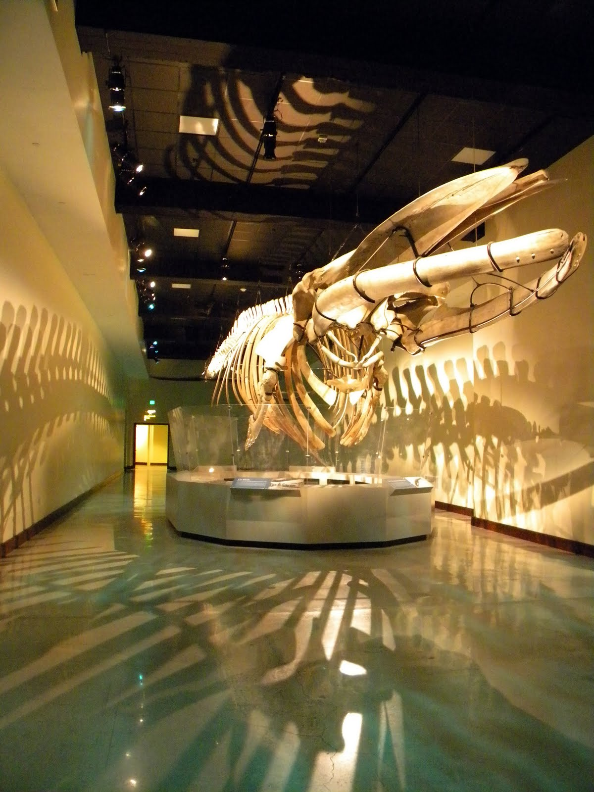 Fin whale skeleton - photo#45